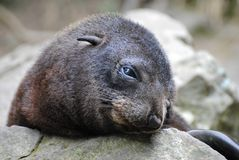 Crying baby fur seal. Stock Photos