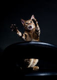 Crying cat. Bengal cat on the chair crying for help Stock Photography