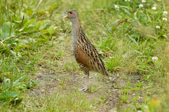 Crying corncrake in grass Stock Image