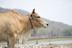 ิcrying cow. Brown cow is crying on mountain background stock photo