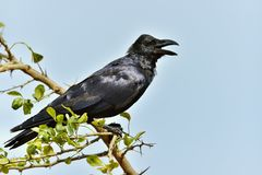 Crying crow.The Indian jungle crow Royalty Free Stock Image