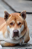 Crying dog. A crying Chinese rural dog Stock Photos