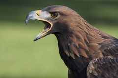 Crying eagle Stock Photo