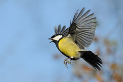 Crying Great tit in flight Stock Image