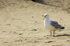 Crying gull at beach Stock Images