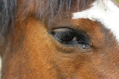 Crying horse stock photography