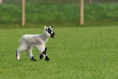 Crying Lamb Royalty Free Stock Image