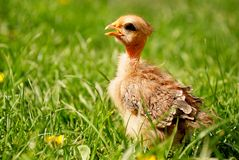 Crying little chicken Royalty Free Stock Photo