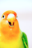 Crying Lovebird closeup Royalty Free Stock Image