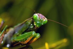 Crying mantis. Praying mantis covered with drops of water that look like tears Royalty Free Stock Photography