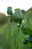 Crying poppy head, opium plant. In field Stock Image