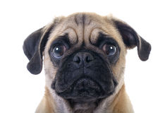 Crying Pug Dog Royalty Free Stock Images