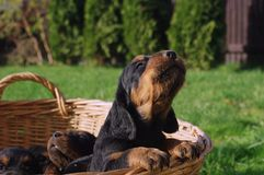 Crying puppy. Gordonsetr.Hunting dog Stock Photography
