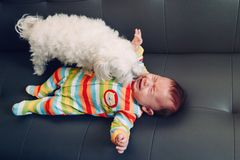 Crying screaming Caucasian baby girl boy lying on bed couch with white dog by his side. Natural emotion expression. Candid childhood lifestyle. Relationships stock photos