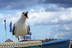 Crying seagull Larus fuscus on a beach basket in a seaside resort Royalty Free Stock Photos