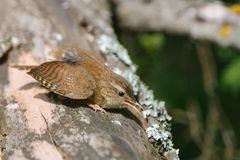 Crying Wren at tree trunk Royalty Free Stock Photo