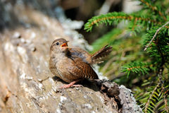 Crying Wren at tree trunk Stock Photography