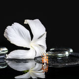 Cryogenic spa concept of delicate white hibiscus, zen stones wit Royalty Free Stock Photo
