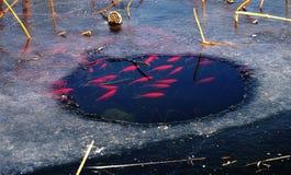 Cryprinus carpiod στο νερό πάγου Στοκ Εικόνες