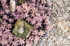 Cryptanthus bivittatus植物庭院 库存图片
