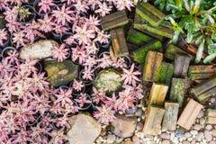 Cryptanthus bivittatus植物庭院 免版税图库摄影