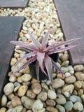 Cryptanthus Bromelaid Royalty-vrije Stock Foto