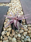 Cryptanthus Bromelaid Royalty Free Stock Photo