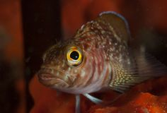 Cryptic Triplefin New Zealand Stock Images
