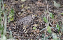 A Cryptic Two-banded Courser Rhinoptilus africanus Stands in Deep Brush Royalty Free Stock Photography