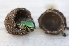 Cryptocephalus sericeus甲虫 免版税库存照片