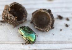 Cryptocephalus sericeus甲虫 图库摄影