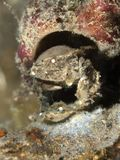 Cryptodomia snyltar krabban Arkivfoto