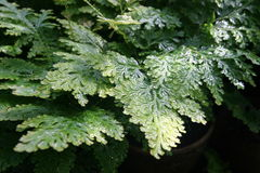 Selaginella Stock Image