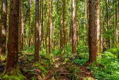 Cryptomeria forest in la Reunion island Royalty Free Stock Photos