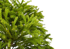Cryptomeria japonica Globosa Nana. Cryptomeria japonica 'Globosa Nana' (Dwarf Globe Japanese Cedar), isolated on white background Royalty Free Stock Photography