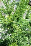 Cryptomeria tree. Cryptomeria japonica in the garden Royalty Free Stock Images