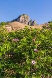 Cryptostegia Grandiflora lizenzfreie stockfotos