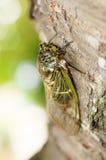 Cryptotympana facialis. = Kumazemi is  an endemic species to Japan Stock Images