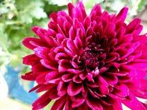 Crysanthemum洋红色颜色 免版税库存照片