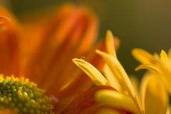 Crysanthemum with water drop Royalty Free Stock Photos