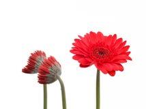 crysanthemumblomma Royaltyfri Fotografi