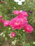 Crysanthemums för morblommaträdgård Arkivbild
