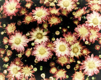 Crysanthemums in the Rain - Retro Royalty Free Stock Photography