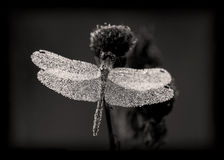 Crystal. Macro. B/W. The dragonfly in the dew early morning royalty free stock photos