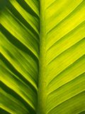 The Crystal Anthurium Leaf and Shadow Royalty Free Stock Photography