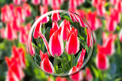 Crystal ball with red-white tulips in flowers field Royalty Free Stock Photo