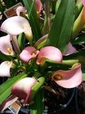 Crystal blush cala lilies Stock Image