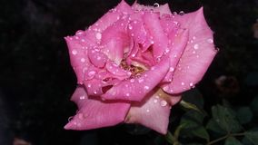 Water drops on pink rose. A crystal clear drops of rain on pink rose after rain Royalty Free Stock Photos