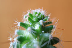 Crystal clear water droplet on mini Cactus plant, macro shot Royalty Free Stock Photo