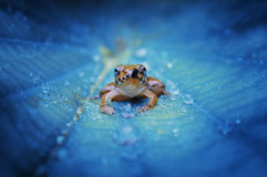 Crystal Frog. A frog stay on leaf that has many dews Royalty Free Stock Images